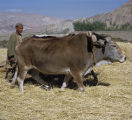 Afghanistan, oxen on farm