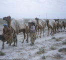 Camel caravan on road