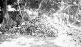 Venezuela, people standing around large pile of cacao pods