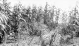 Venezuela, corn crops on bank of Orinoco River