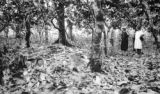 Venezuela, Harriet Platt and farmers in grove of cacao trees