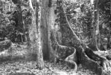 Colombia, buttress roots of large ceiba tree at Cacaotal Nicacio