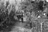 Venezuela, man and donkey on path to sugar mill at Trapiche San Miguel