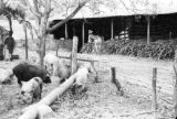 Venezuela, view of pig pen near sugar mill at Trapiche San Miguel in Trujillo state