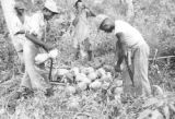 Guyana, laborers harvesting coconuts at Hope Estate in Demerara-Mahaica region