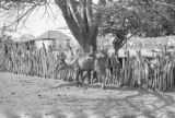 Venezuela, view of cow standing under tree