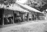 Colombia, horse near equipment shed at Hacienda El Hatico in Valle del Cauca department
