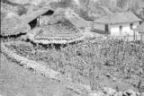 Venezuela, small corn field near thatched roof dwellings in Chachopo