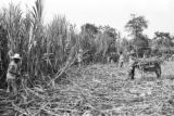 Venezuela, harvesting and loading sugarcane unto donkeys at Trapiche San Miguel in Trujillo state