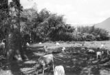 Colombia, cattle grazing near bamboo trees at Itagüí