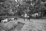 Colombia, cowboy herding cattle at Hacienda El Hatico in Valle del Cauca department