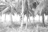 Guyana, laborer climbing coconut palm at Hope Estate in Demerara-Mahaica region