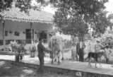 Colombia, man displaying French bull as Don Carlos and Harriet Platt watch at Hacienda El Hatico