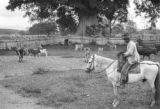 Colombia, cowboy in corral with herd at Hacienda El Hatico in Valle del Cauca department
