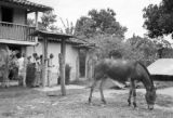 Brazil, donkey grazing near house at Fazenda Munezes