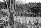Brazil, view of tree with ant nest in yard at Fazenda Munezes