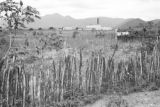 Brazil, view of factory from across corn field at Acarape