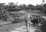 Brazil, burros transporting cacoa to drying floor at Mucambo Cocoa Estates Ltd.