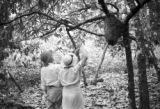 Brazil, Harriet Platt and Mr. Bellairs looking at ant nest in cacao tree at Mucambo Cocoa Estates...