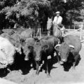 Argentina, man with cattle in pen on ranch in Las Rosas