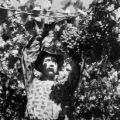 Chile, farmer harvesting grapes at vineyard in Llaillay