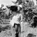 Chile, farmer carrying harvested peaches at farm in Llaillay