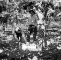 Chile, farmers harvesting grapes at vineyard in Llaillay