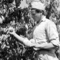 Chile, farmer harvesting peaches at farm in Llaillay