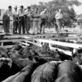 Argentina, men examining cattle on ranch in Buenos Aires