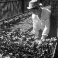 Brazil, man examining seedlings at garden in southern Brazil