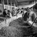 Brazil, women sorting nuts at warehouse in northern Brazil
