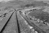 Peru, woman herding sheep along train tracks