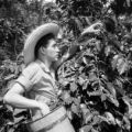 Colombia, worker picking coffee beans in Fredonia