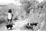 Ecuador, child herding pigs on rural road