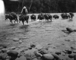 Bolivia, mules crossing stream