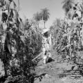 Paraguay, man in tattered clothes working in corn field
