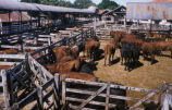Buenos Aires (Argentina), view of stockyard