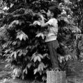Peru, boy harvesting coffee beans in Tingo María