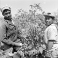 Peru, boys harvesting cotton on plantation