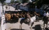 Buenos Aires (Argentina), horseback riding and cattle herding