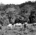 Peru, cattle grazing near forest in Tingo María