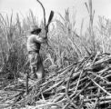 Peru, farmer harvesting sugar cane with machete at plantation in Paramonga