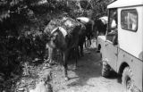 Bolivia, heavily loaded mules passing car on road in La Paz