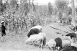 Ecuador, herding sheep near corn field