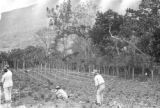 Venezuela, workers picking string beans in Escuque