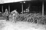 Venezuela, man loading sugar cane on donkey in Trujillo state