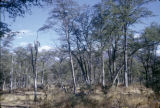Zimbabwe, forest in bush country