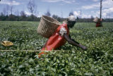Kenya, picker harvesting tea at Kericho plantation