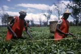 Kenya, pickers harvesting tea at Kericho plantation