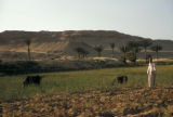 Egypt, animals grazing in the fields